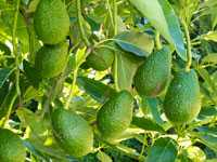 Avocadobaum mit reifen Früchten