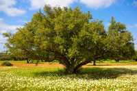 Arganbaum mit Nüssen