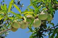 Mandelbaum mit Frucht