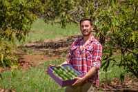 Avocado Bauer bei der Ernte